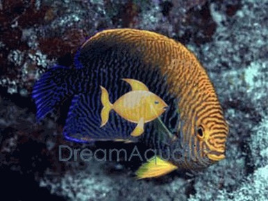 Potter's Angelfish - Centropyge potteri - Potter's Angel Fish