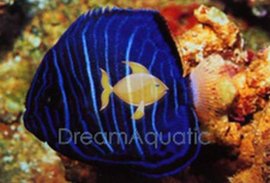 Annularis Angelfish Juvenile - Pomacanthus annularis - Blue Ringed Angel Fish