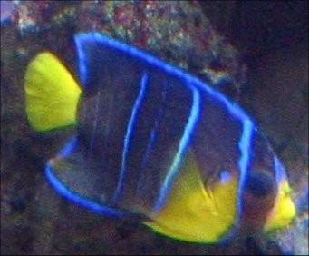 Blue Angelfish Juvenile - Holocanthus bermudensis - Blue Angel Fish