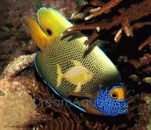 Blueface Angelfish - Pomacanthus xanthometopon - Blueface Angel Fish