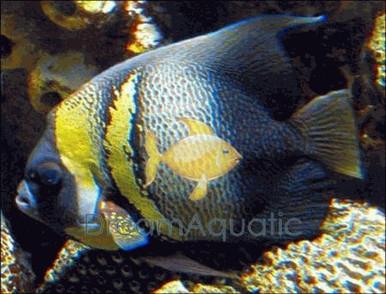 Cortez Angelfish - Pomacanthus zonipectus - Cortez Angel Fish