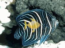 Emperor Angelfish Juvenile - Pomacanthus imperator - Imperator Angel Fish