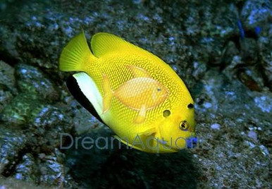 Flagfin Angelfish - Apolemichthys trimaculatus - Flagfin Angel Fish
