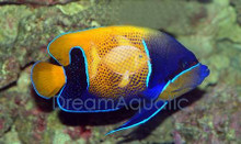 Majestic Angelfish - Euxiphipops navarchus, Pomacanthus navarchus - Bluegirdled Angel Fish
