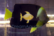 Personifer Angel Female - Chaetodontoplus personifer - Bluemask Western Yellow Tail Angel Fish