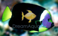 Personifer Angel Male - Chaetodontoplus personifer - Bluemask Western Yellow Tail Angel Fish