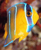 Queen Angelfish Juvenile - Holacanthus ciliaris - Queen Angel Fish