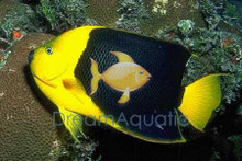 Rock Beauty Angelfish - Holacanthus tricolor - Rock Beauty Angel Fish