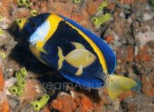 Scribbled Angelfish - Chaetodontoplus duboulayi - Scribbled Angel Fish
