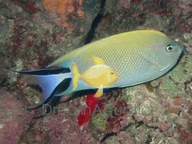 Female SwallowTail Angelfish - Genicanthus melanospilos - Blackspot Angel Fish