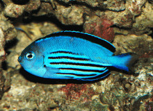 Male Watanabei Angelfish - Genicanthus watanabei - Watanabe's Angel Fish