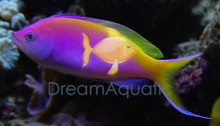Bartlett's Anthias - Pseudanthias bartlettorum - Bartlett's Fairy Anthias