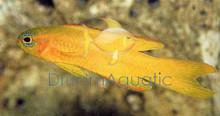 Golden Basslet - Assessor flavissimus - Yellow Assessor Basslet