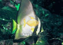 Orbicularis Batfish - Platax orbicularis
