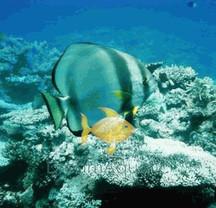 Pinnatus Batfish - Platax pinnatus