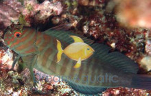 Chestnut Blenny - Cirripectes castaneus - Chestnut Eyelash Blenny