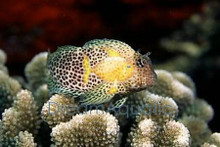 Leopard Blenny - Exallias brevis - Sailfin Blenny - Honeycomb Blenny