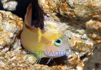 Midas Blenny - Ecsenius midas - Midas Lyretail Blenny - Persian Blenny
