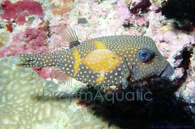 Boxfish Black Female - Ostracion meleagris - Box Fish