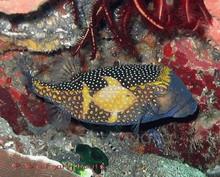 Boxfish Blue Male - Ostracion meleagris - Box Fish