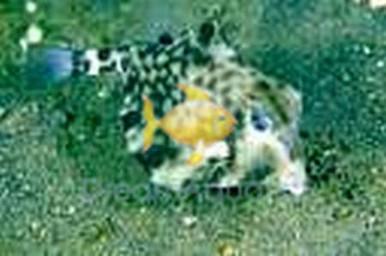 Camel Cowfish - Tetrasomus gibbosus