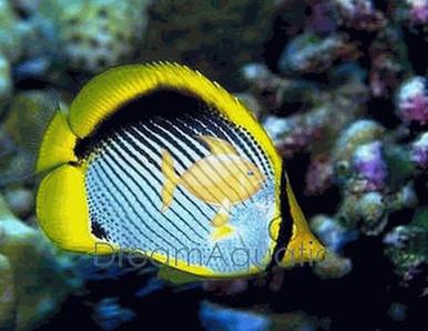 Black Back Butterfly Fish - Chaetodon melannotus - Melannotus Black-Backed Butterflyfish