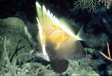 Brown Heniochus Butterfly Fish - Heniochus varius - Humphead - Phantom Bannerfish