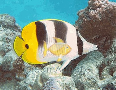 Double Saddle Butterfly Fish - Chaetodon ulietensis - False Falcula - Pacific Double Saddleback Butterflyfish