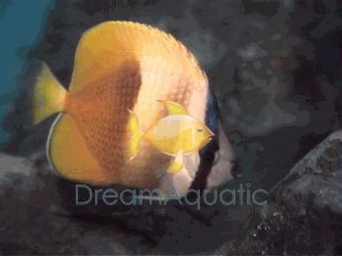 Orange Butterfly Fish - Chaetodon kleini - Brown Butterflyfish - Klein's Butterflyfish