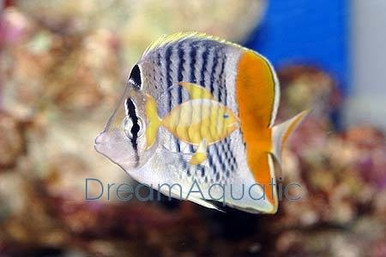 Pearlscale Butterfly Fish - Chaetodon xanthurus - Yellow ...