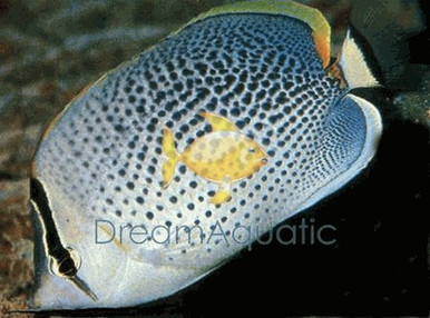 Pebble Butterfly Fish - Chaetodon guttatissimus - Pebble Butterflyfish - Many Banded Butterfly - Multi-Banded Butterfly