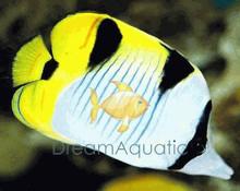 True Falcula Butterfly Fish - Chaetodon falcula - Saddleback - Saddle-Back Butterflyfish