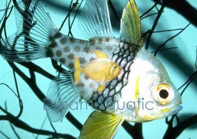 Spotted Cardinal Fish - Sphaeramia nematoptera - Pajama Cardinalfish