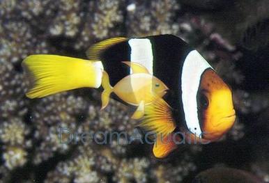 Clarkii Clown Fish - Amphiprion clarkii - Clark's Anemonefish - Clark's Clownfish