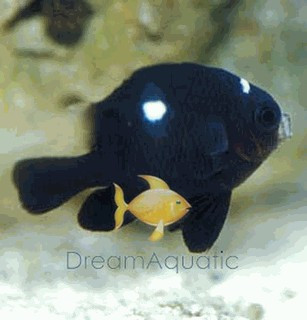 3-Spot Domino Damsel Fish - Dascyllus trimaculatus - Three-spot Damselfish - Domino Damselfish