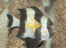 4-Stripe Damsel Fish - Dascyllus melanurus - Blacktail Dascyllus Damselfish