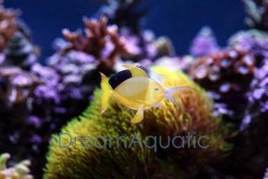 Bicolor Chromis Damsel Fish - Chromis viridis - Bicolor Chromis Damselfish