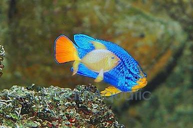 Blue Devil Damsel Fish - Chrysiptera cyanea - Electric Blue Damselfish
