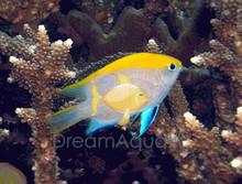 Bluefin Damsel Fish - Neoglyphidodon melas - Bow-tie Damsel - Yellow-backed Damsel - Royal Damselfish