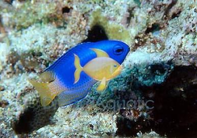 Blue & Gold Damsel Fish - Pomacentrus coelestis - Electric Blue - Neon Damselfish