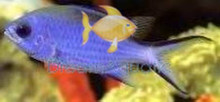 Blue Reef Chromis Damsel Fish - Chromis cyaneus - Blue Chromis Damselfish