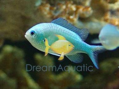 Green Chromis Damsel Fish - Chromis viridis - Green Chromis Damselfish