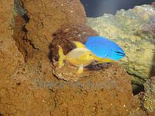 Kupang Damsel Fish - Chrysiptera hemicyanea - Kupang Damselfish - Azure Demoiselle - Half-blue Damselfish