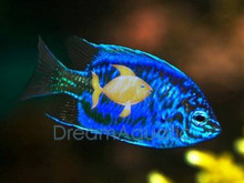 Springer's Damsel Fish - Chrysiptera springeri - Springer's Damselfish - Solomon Blue Damsel