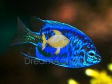 Springer's Damsel Fish - Chrysiptera springeri - Springer's Damselfish - Solomon Blue Damsel