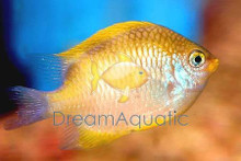 Yellow Damsel Fish - Amblyglyphidodon aureus - Lemon Damsel - Lemonpeel Damsel - Golden Damselfish