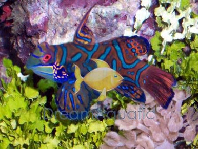 Green Mandarin Goby - Pterosynchiropus splendidus - Striped Mandarin Fish