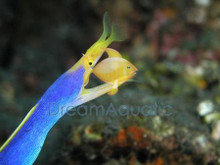 Blue Ribbon Eel - Rhinomuraena quaesita - Ghost Ribbon Eel