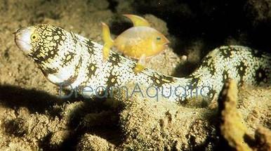 Snowflake Eel - Echidna nebulosa - Snowflake Moray Eel