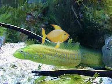 Wolf Eel - Congrogadus subducens - Carpet Eel Blenny - Eared Eel Blenny - Green Wolf Eel